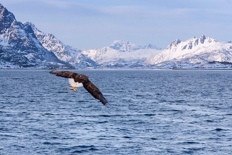 Rekomendasi Kegiatan yang Cuma Bisa Dilakukan Saat Winter di Eropa - Sea Eagle Safari di Svolvaer Norwegia - Sumber Flickr