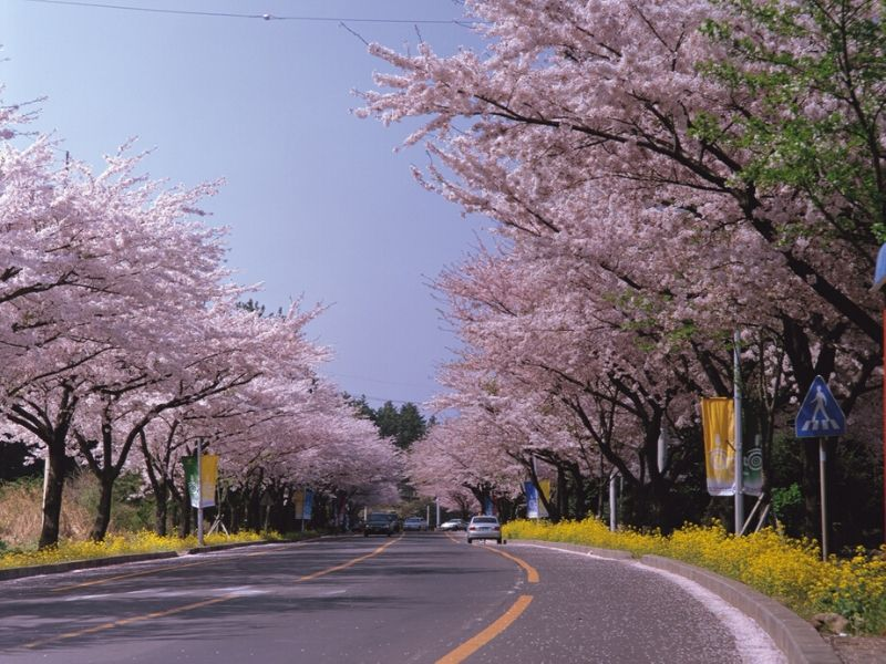 Cherry Blossoms In Korea Month