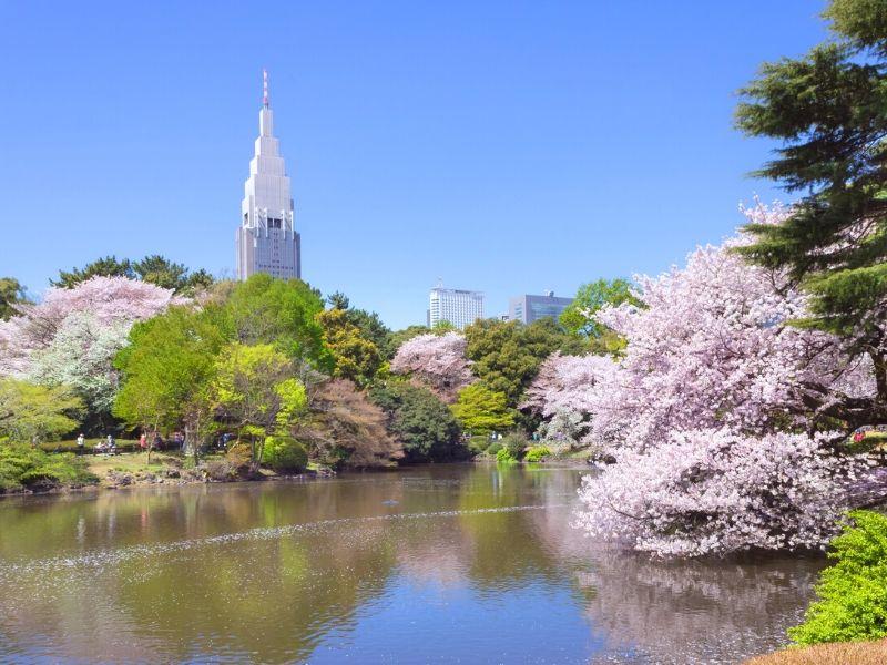 Melihat Sakura di Taman Shinjuku Gyoen, Tokyo - Sumber Wikimedia