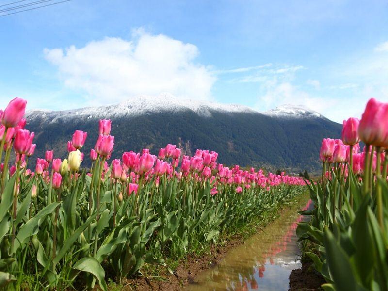 Agassiz Tulip Festival, Kanada - Sumber Flickr