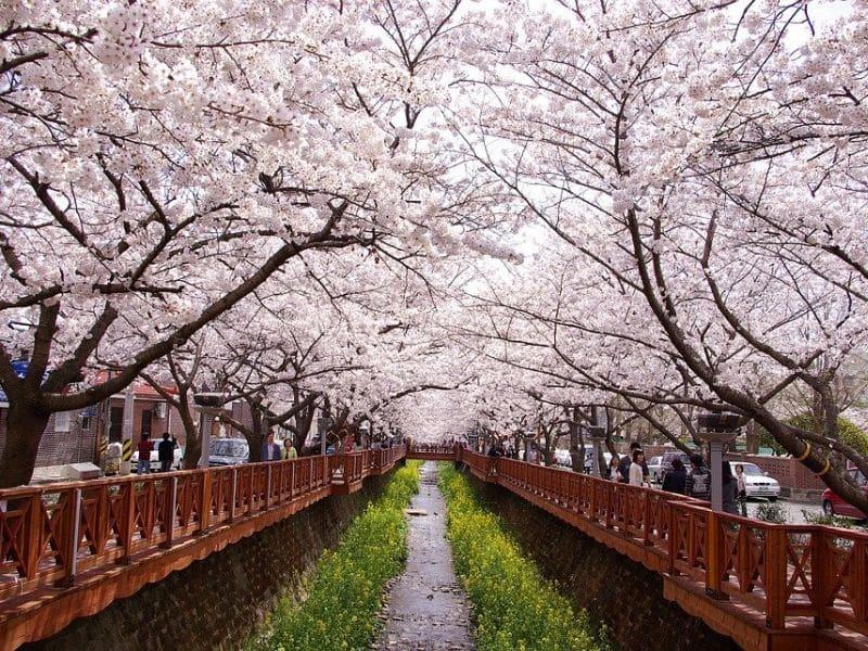 Cherry Blossom Jinhae Gunhangje Festival - Sumber: Pixabay