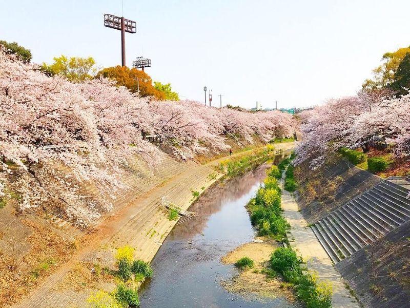Musim Sakura Mekar di Sungai Yamazaki, Nagoya - Sumber Flickr