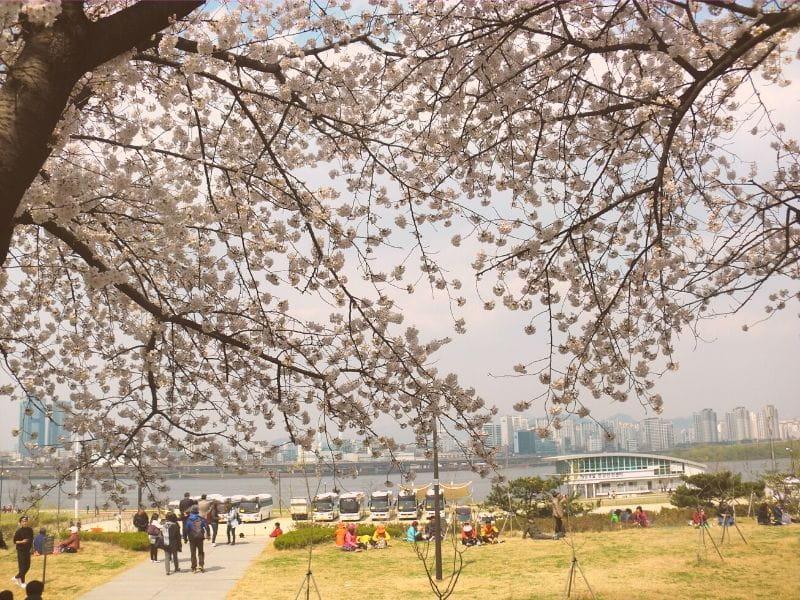 Yeongdeungpo Yeouido Spring Flower Festival - Sumber Wikimedia