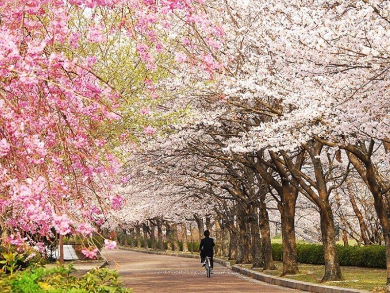 Sakura di Nango Park, Kyoto - Sumber Japan Kyoto Tourism