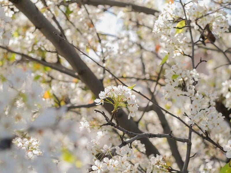 Silk Town Mountain Cherry Blossom Festival - Sumber: Piqsels