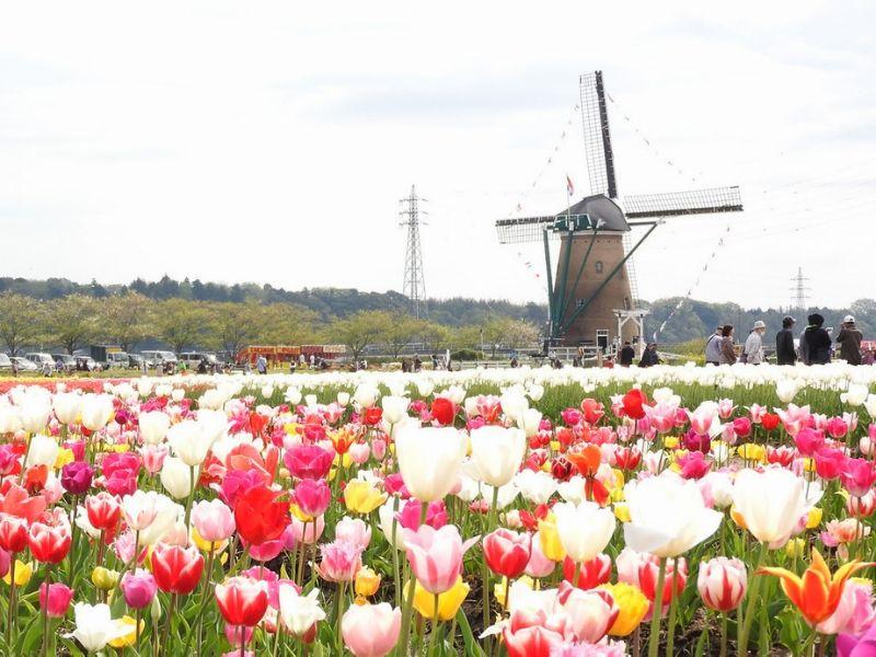 Tulip Jepang - Sakura Tulip Festival - Sumber Flickr