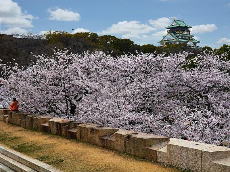 Sakura di Osaka Castle, Osaka, Jepang - Sumber Pxfuel