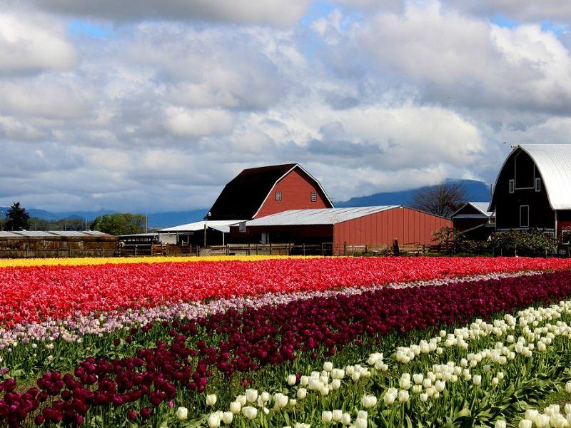 Skagit Valley Tulip Festival, Washington, AS - Sumber Flickr