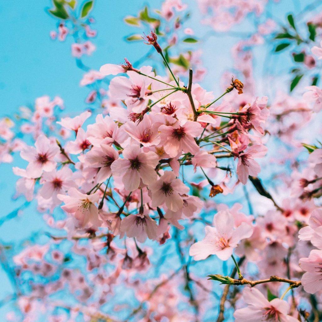 Melihat Bunga Sakura Mekar Di 13 Negara