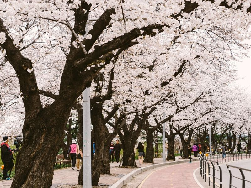 Yeouido Park Cherry Blossom - Paket Tour Korea